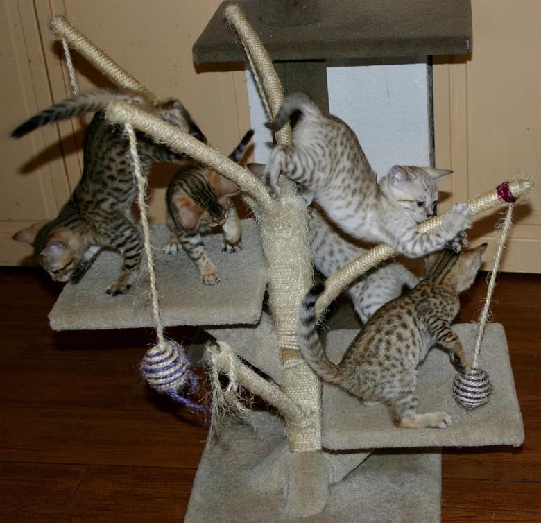 пять персидских кошек