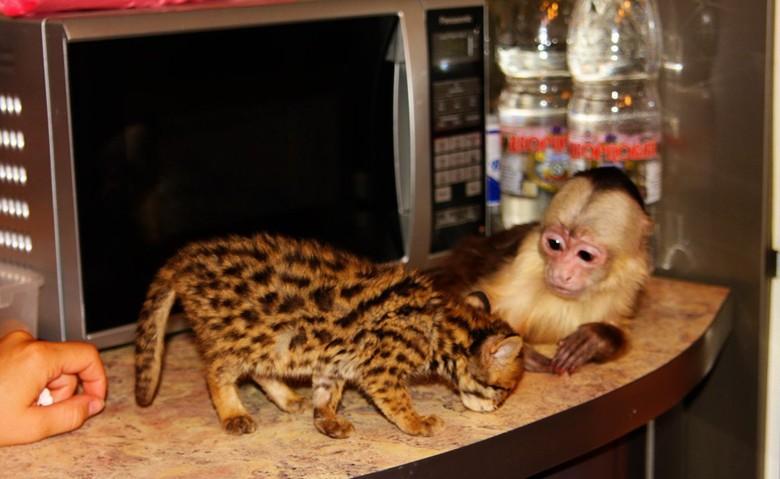 бенгальская кошка и обезьяна