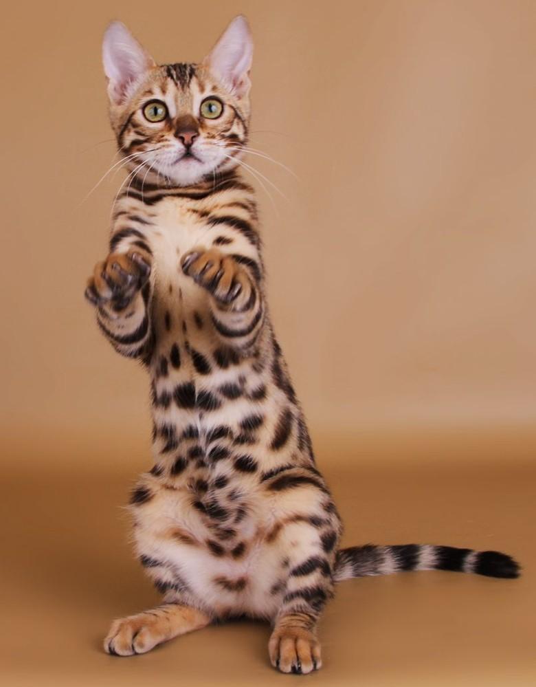 дрессированая бенгальская кошка