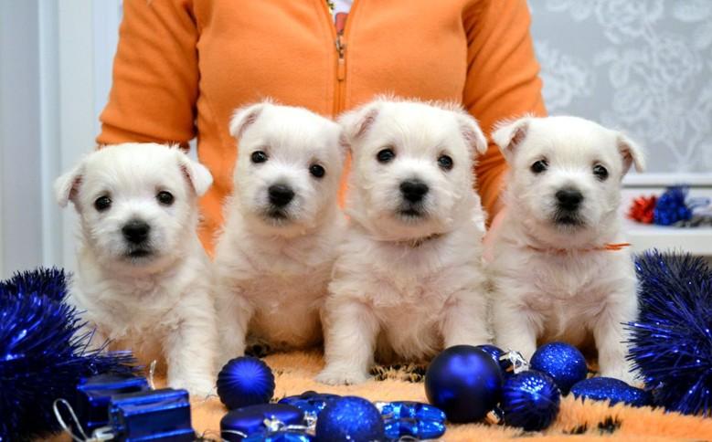 четыре щенка вест-хайленд-уайт-терьер