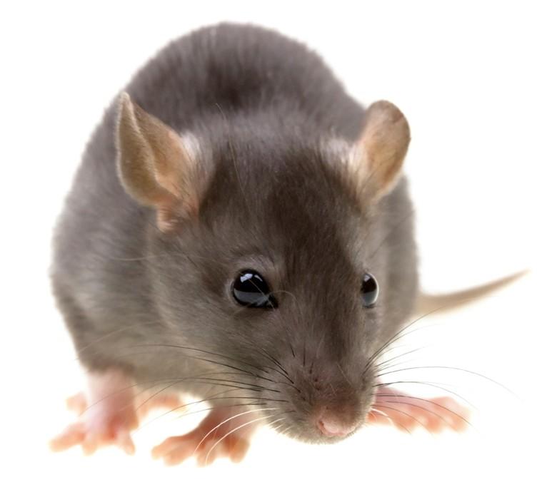 домашняя декоративная крыса