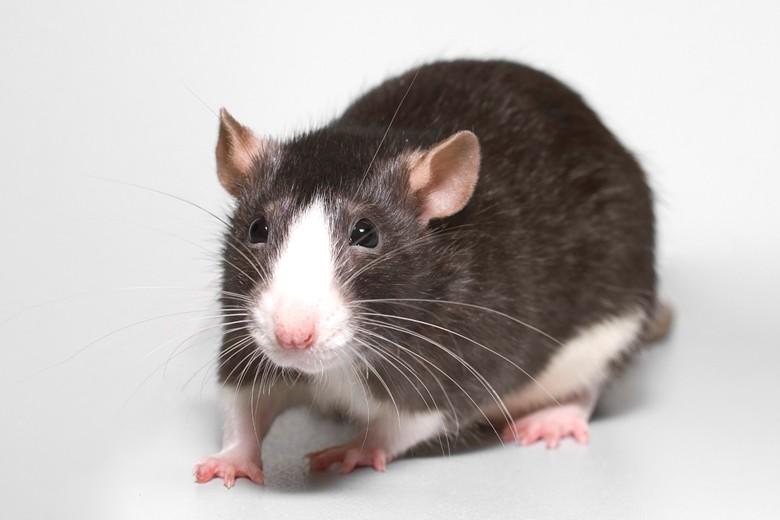 домашняя крыса двойной расцветки
