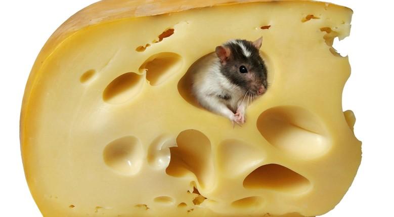 декоративная крыса и сыр