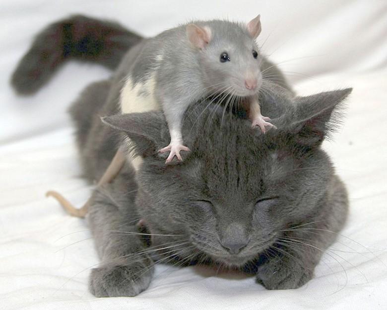 домашняя крыса и кот