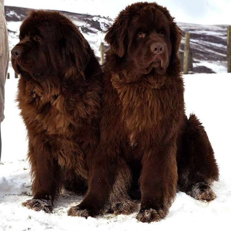 собаки коричневого цвета