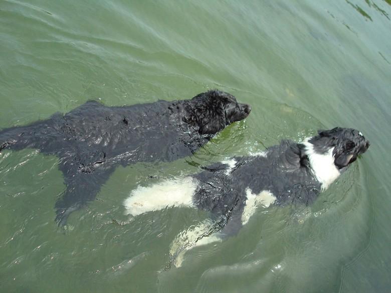 плавание ньюфаундлендов
