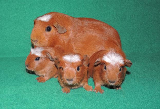 мама морская свинка с детьми