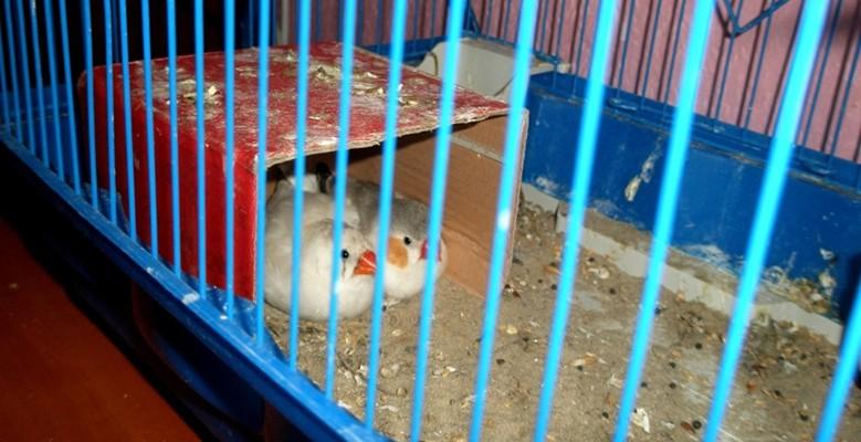 песок у амадин в клетке