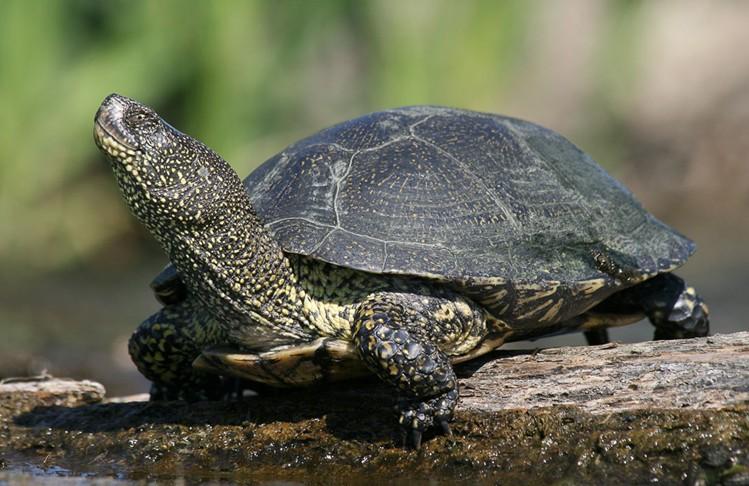 европейская болотная черепаха в естественной среде