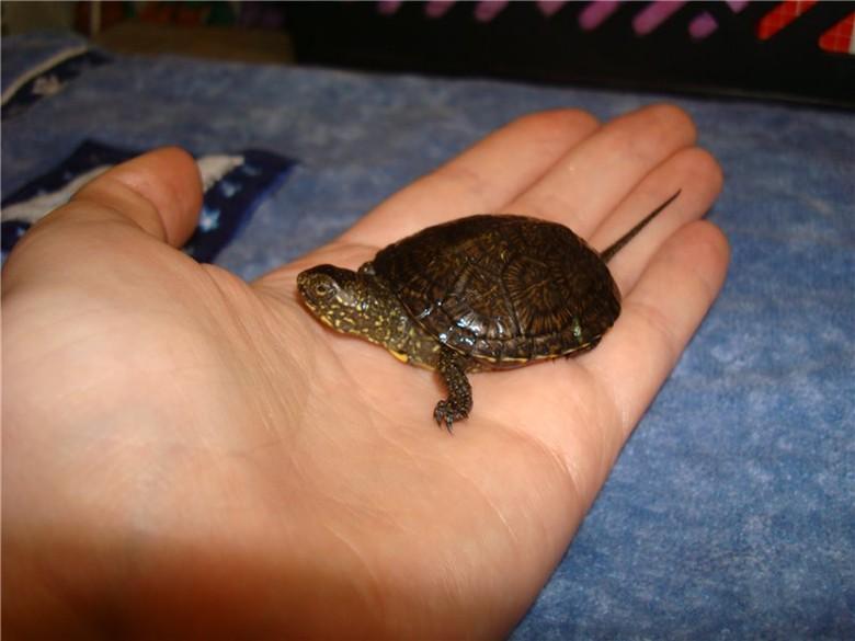 маленькая болотная черепаха