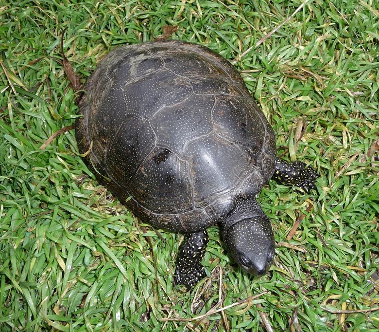 болотная черепаха на лужайке