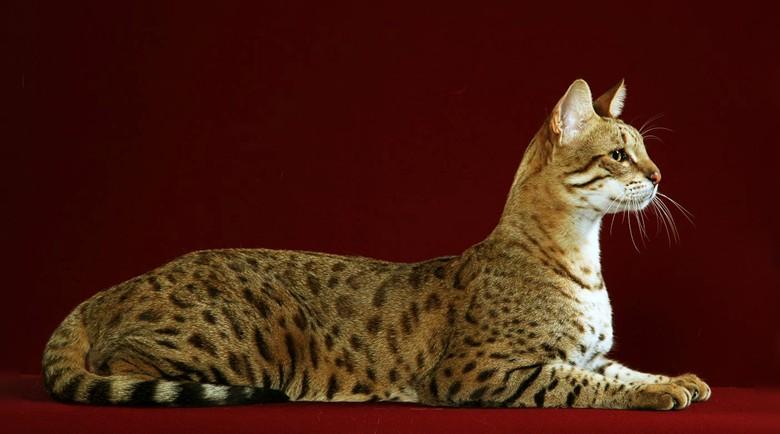 кошка ашера во всей красе
