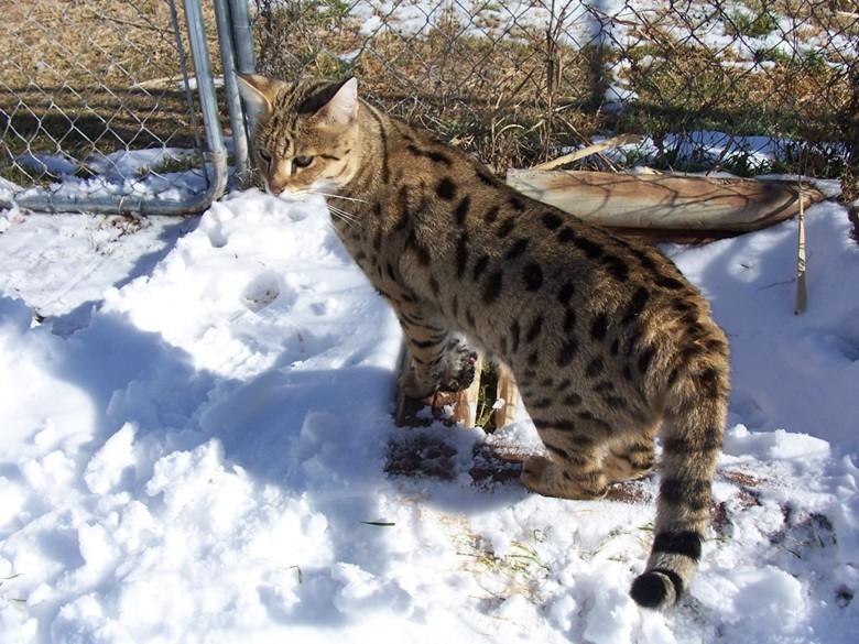 питомник кошек ашера