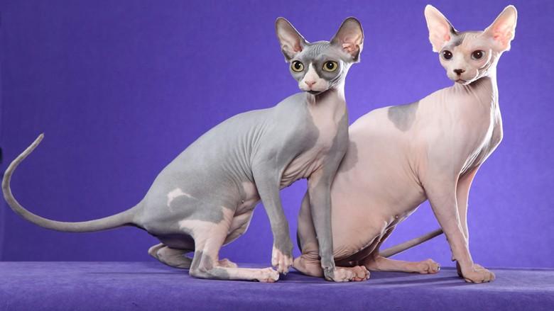 красивая пара кошек бамбино