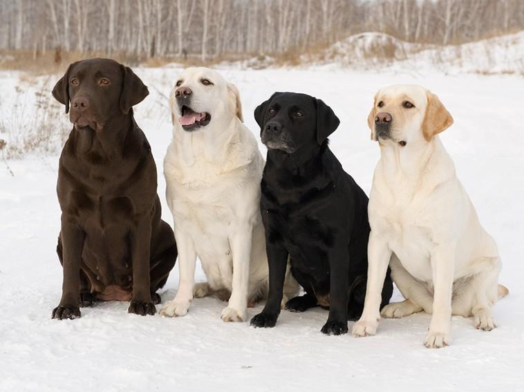 четыре цвета собак