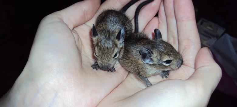 два маленьких детеныша дегу