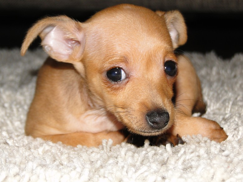 рыженький щенок