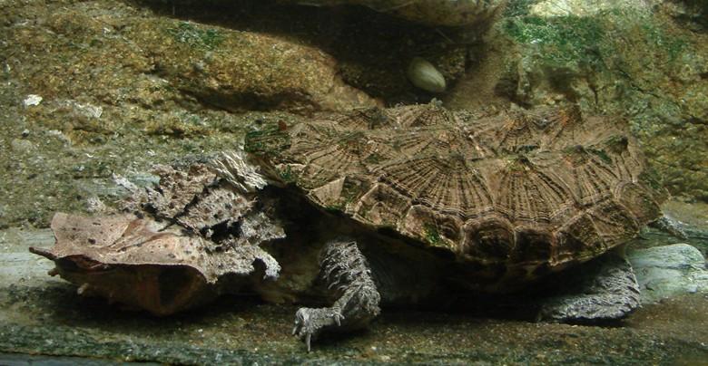 матамата на дне аквариума
