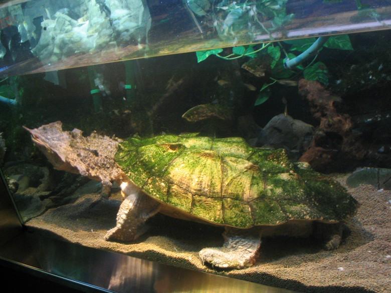 черепаха на дне аквариума