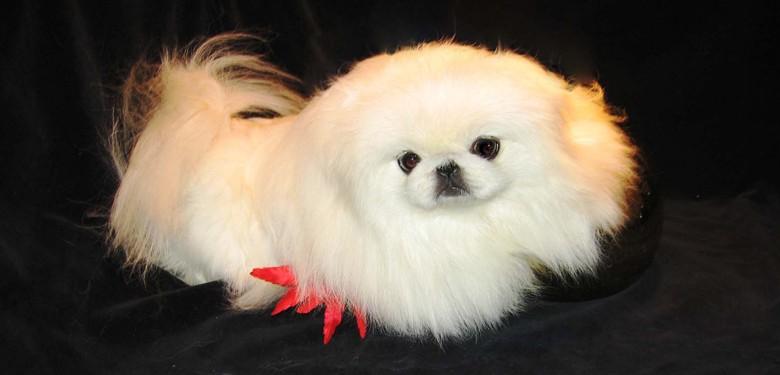 белый щенок пекинеса