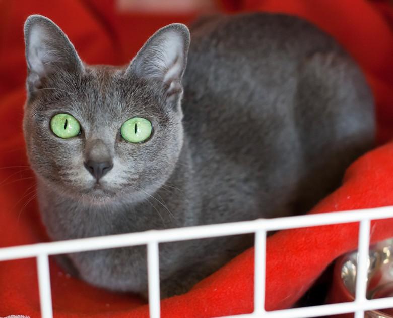 корат, таиландская кошка