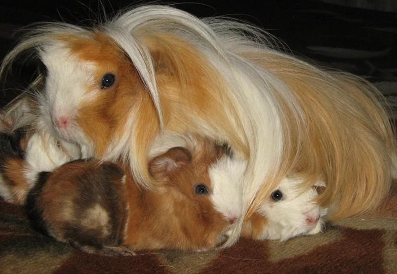мама и малыши морских свинок