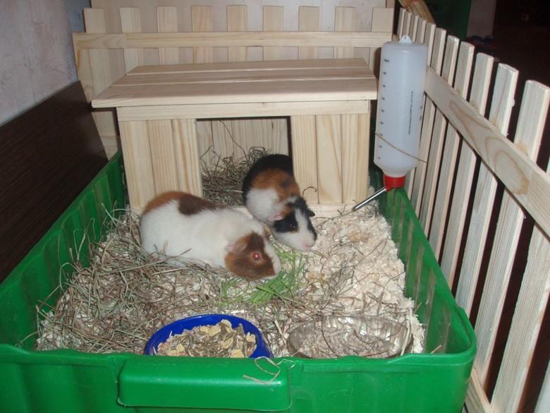 морские свинки в своем домике
