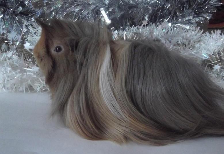 морская свинка с красивой шерстью