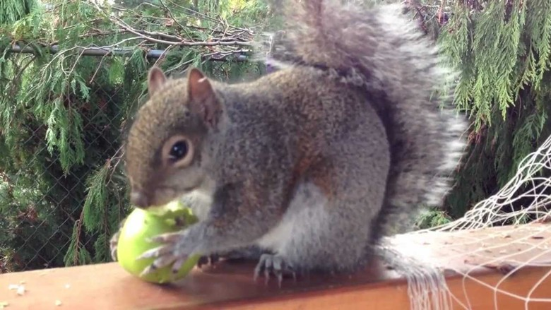 белка ест яблоко
