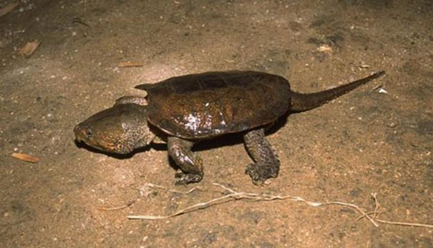 большеголовая черепаха на дне водоема