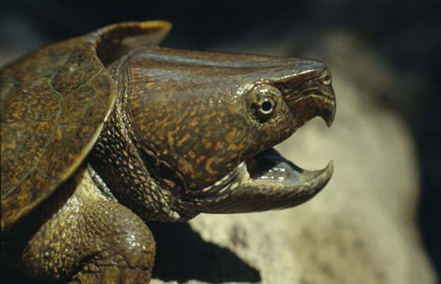 клюв большеголовой черепахи