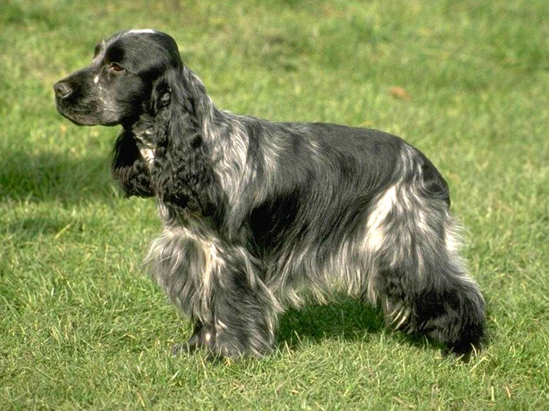 собака черного цвета