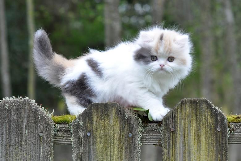 котенок манчкин забрался на забор