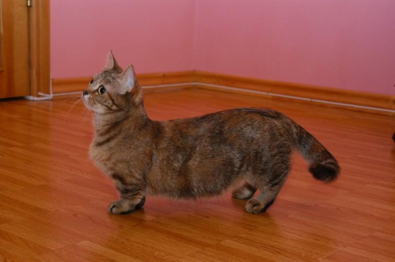 красивая ухоженная кошка манчкин