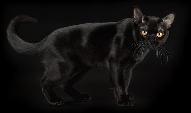 кошка, как пантера