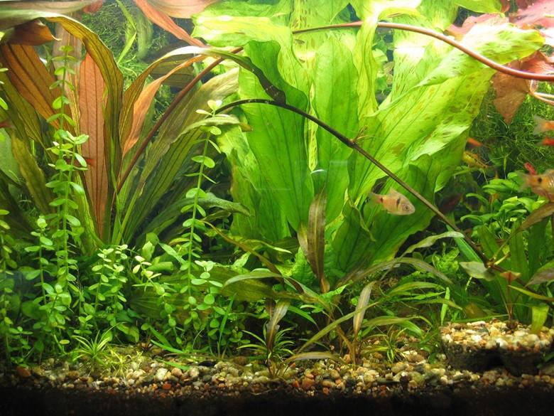 аквариум для алого барбуса