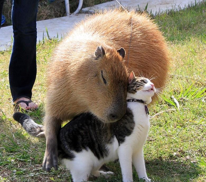 капибара любит животных