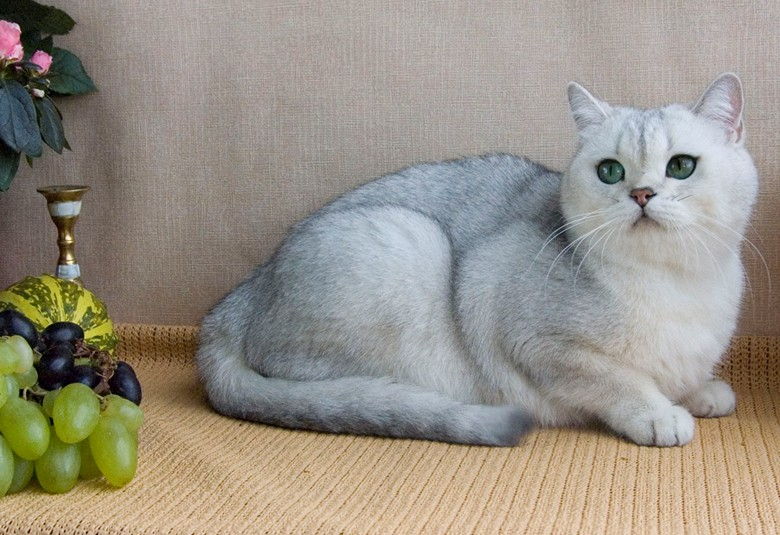 кошка со светлым окрасом