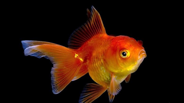 золотая рыбка во всей красе