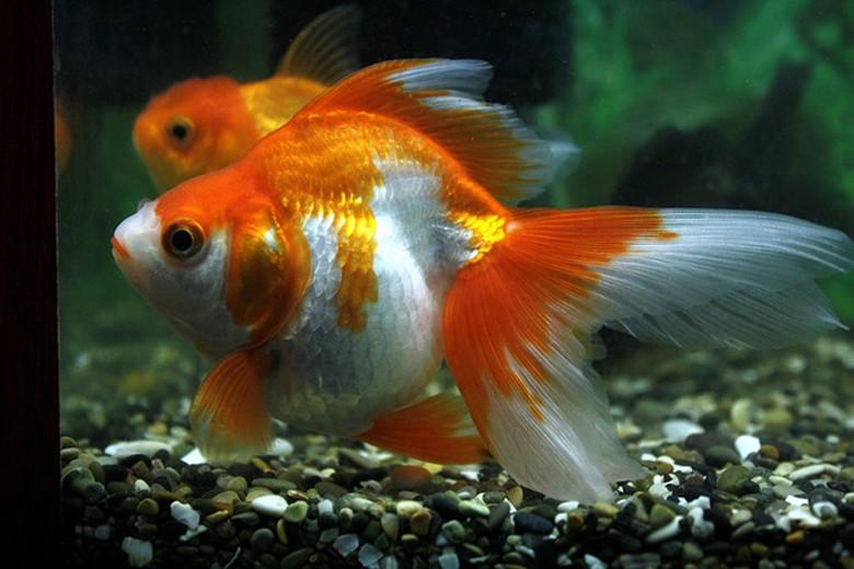 беременная золотая рыбка