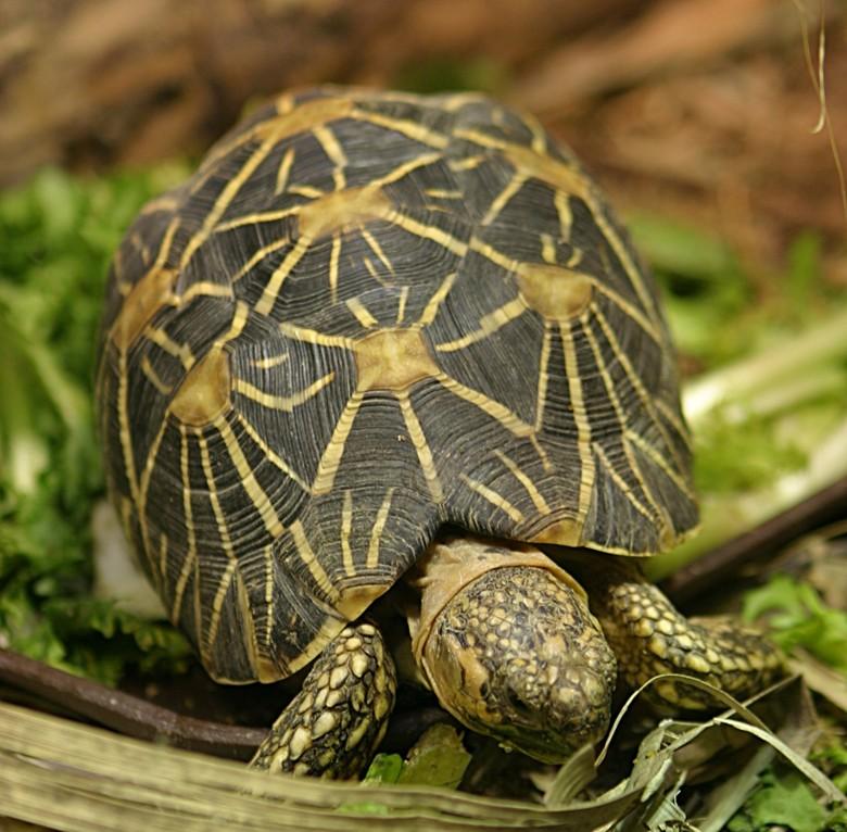 Звездчатая черепаха в террариуме