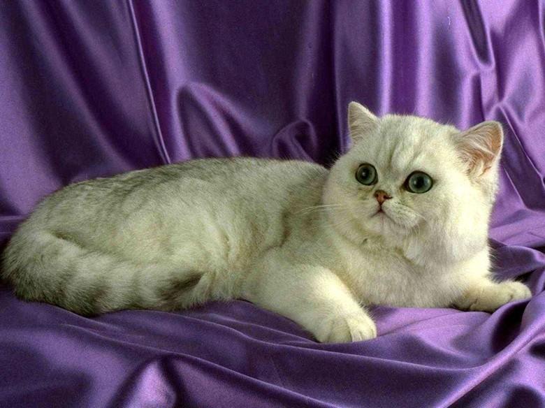 Взрослая красивая кошка