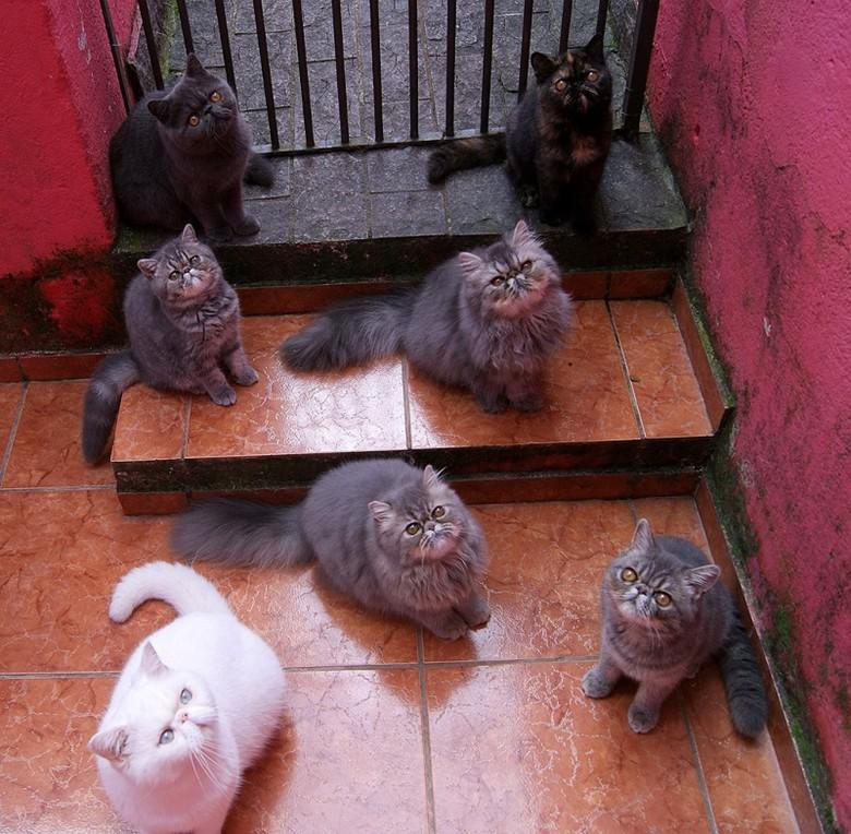 Экзотическая порода кошек, окрасы
