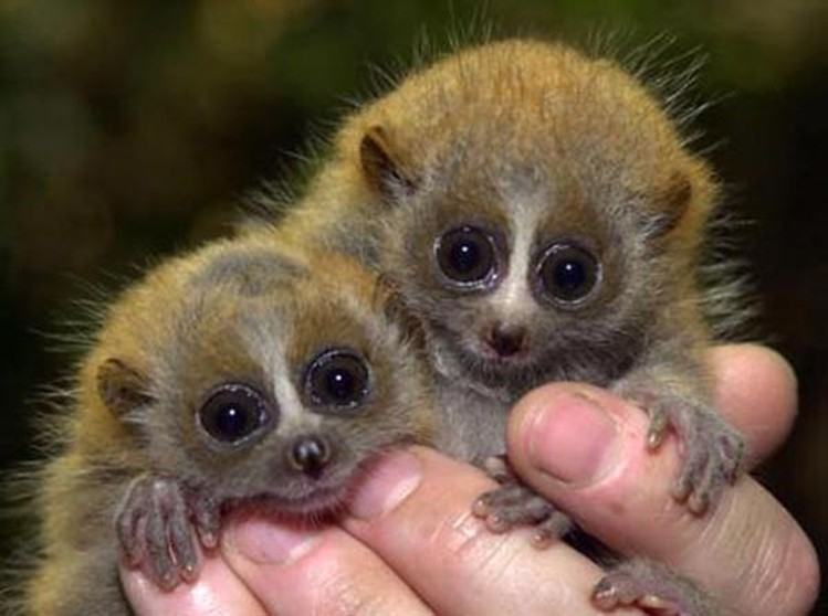 два маленьких лемура