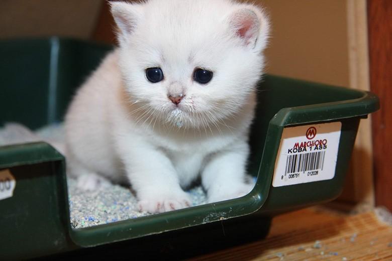 первые проблемы, как приучить кошку к туалету