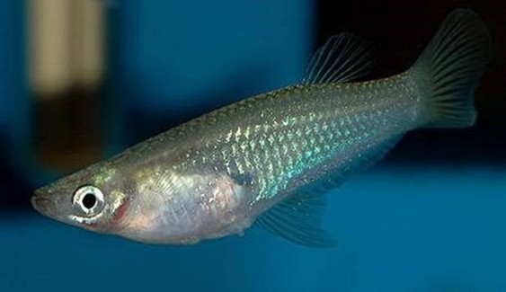 У рыбки видно внутренности