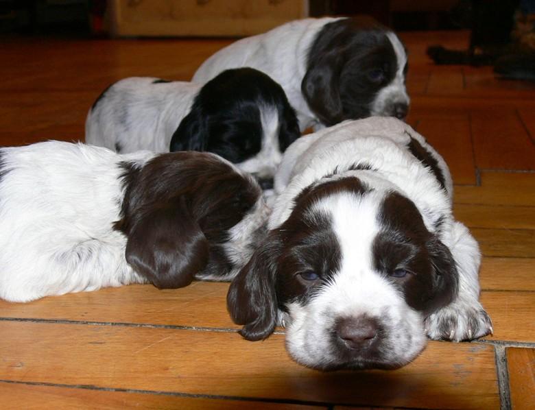 четыре щенка спаниеля
