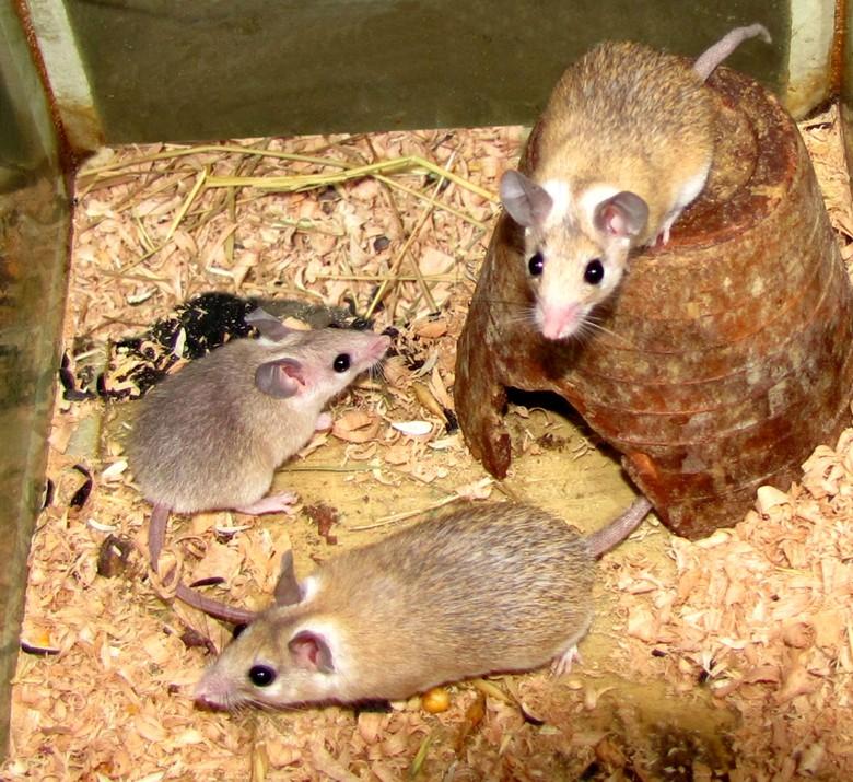 иглистые мыши в аквариуме