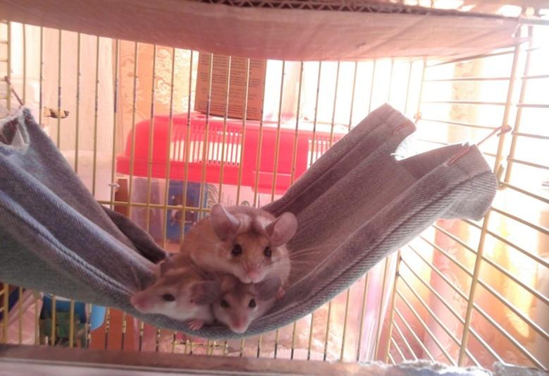 иглистые мыши в клетке