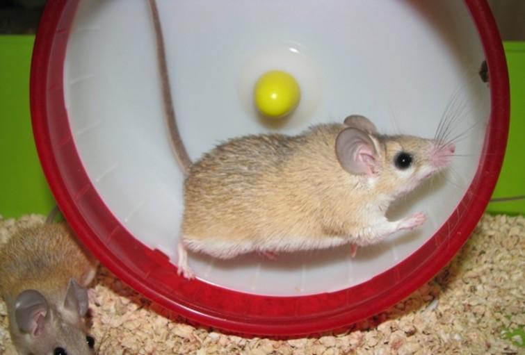 Иглистая египетская мышь крутит колесо